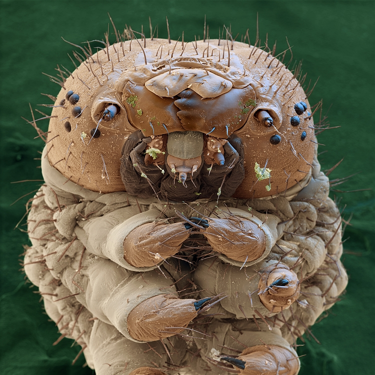 Seidenspinnerraupe - Bombyx mori L 31x