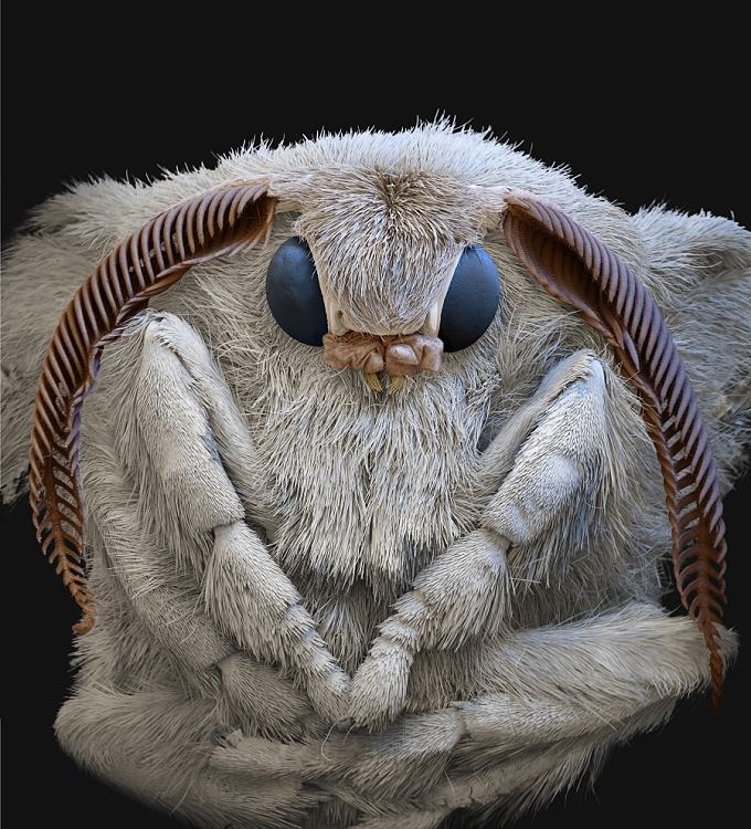 Seidenspinner - Imago_Bombyx mori A 13x