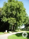 2 Platanen am Friedhof