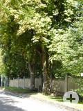 2 Rosskastanien am Friedhofseingang