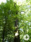 Kreuzsteineiche am Reinhau