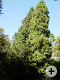 2 Lebensbäume an der Panoramastraße