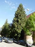2 Thujabäume an der St.-Wolfgang-Kirche