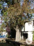Birnbaum an der Beethovenstraße