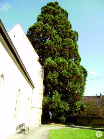 Wellingtonie an der Kirche