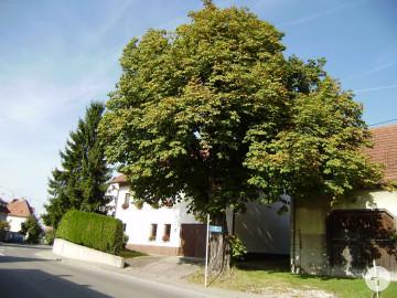 Kastanie an der Bronnweiler Straße