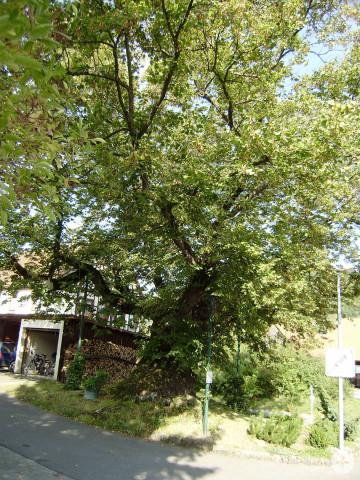 Sommerlinde an der Öschinger Straße