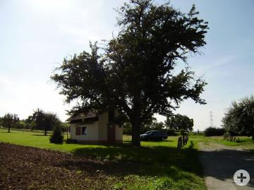 Birnbaum am Reuteweg