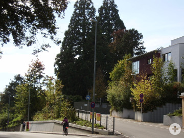2 Mammutbäume an der Alteburgstraße