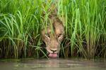 Coole Katze - Isak_Pretorius - Wildlife Photographer of the Year
