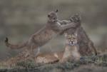 Porträt einer Puma-Mutter - Foto: Ingo Arndt