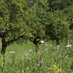 Banner-Streuobstwiese, Foto: T. Ayoub