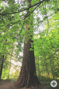 Mammutbaum (Foto: B. Schölkopf)