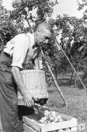 Apfelernte in der Pomologie im Jahr 1968