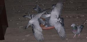 Durch regelmäßige kontrollierte Fütterung wird erreicht, dass die Tauben auch zum Brüten in den Schlag  kommen.