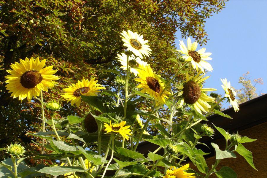 Blühende Sonnenblumen