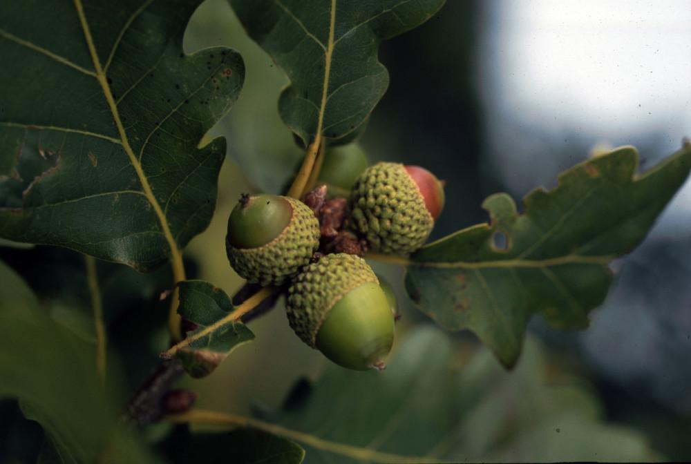 Trauben-Eiche  Quercus petraea