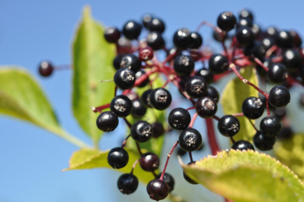 Schwarzer Holunder Frucht