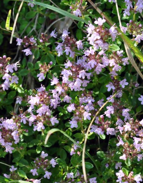 Quendel  Thymus serpyllum