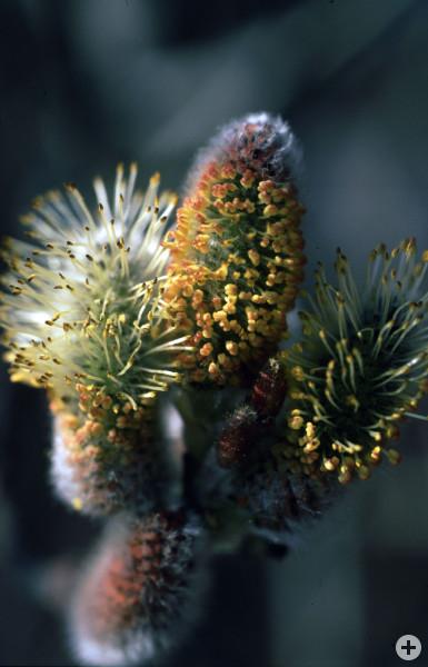 Salweide  Salix caprea